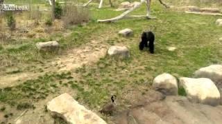 Watch Gorilla Scared Of Canadian Goose 『動物バトル』ガチョウvsゴリ...