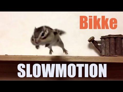 シマリスビッケのスローモーション/Slowmotion bikke the chipmunk