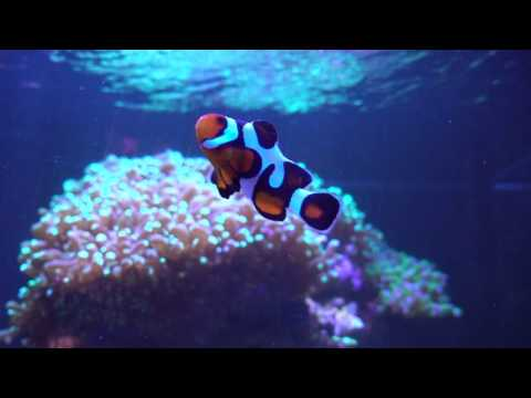 MochaVinci Clownfish - Story About My Pair Of Designer Clowns