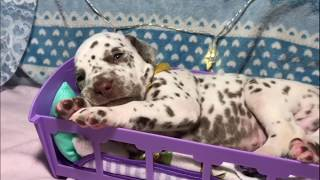 Очаровательные щенки нашей Прюши)))/Щенки Далматина. Dalmatian puppies, cuccioli di dalmata.