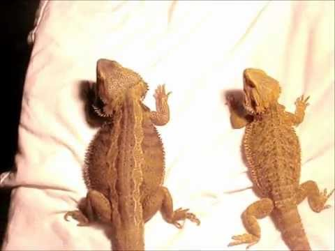 How to tell the sex of bearded dragons