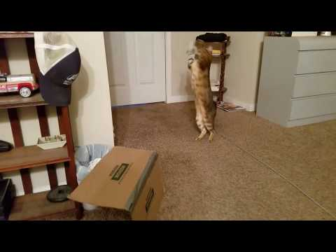 F3 Bengal Cat Jumping & Playing