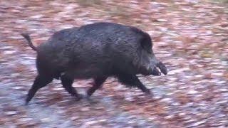 Repeat youtube video Domuz Avı için En İyi Av Tüfeği