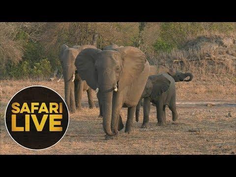 safariLIVE - Sunset Safari - August 12, 2018