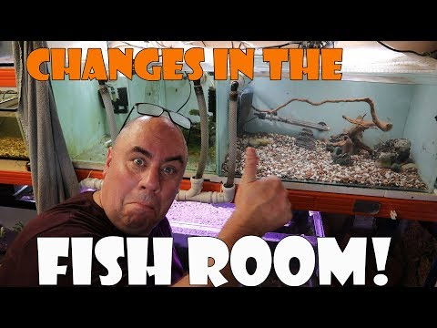 Fish Room Update - White Cloud Mountain Minnows!
