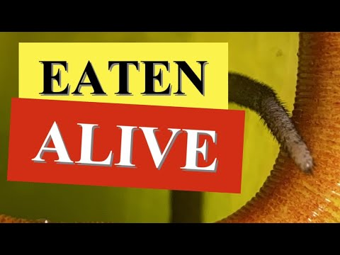 rat-eaten-alive-😵-pitcher-plant-traps-&-kills-big-rat-&-other-nasty-surprise!