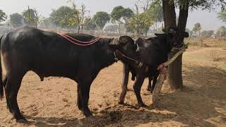 Murray Bhains Mating Murha Pada Try