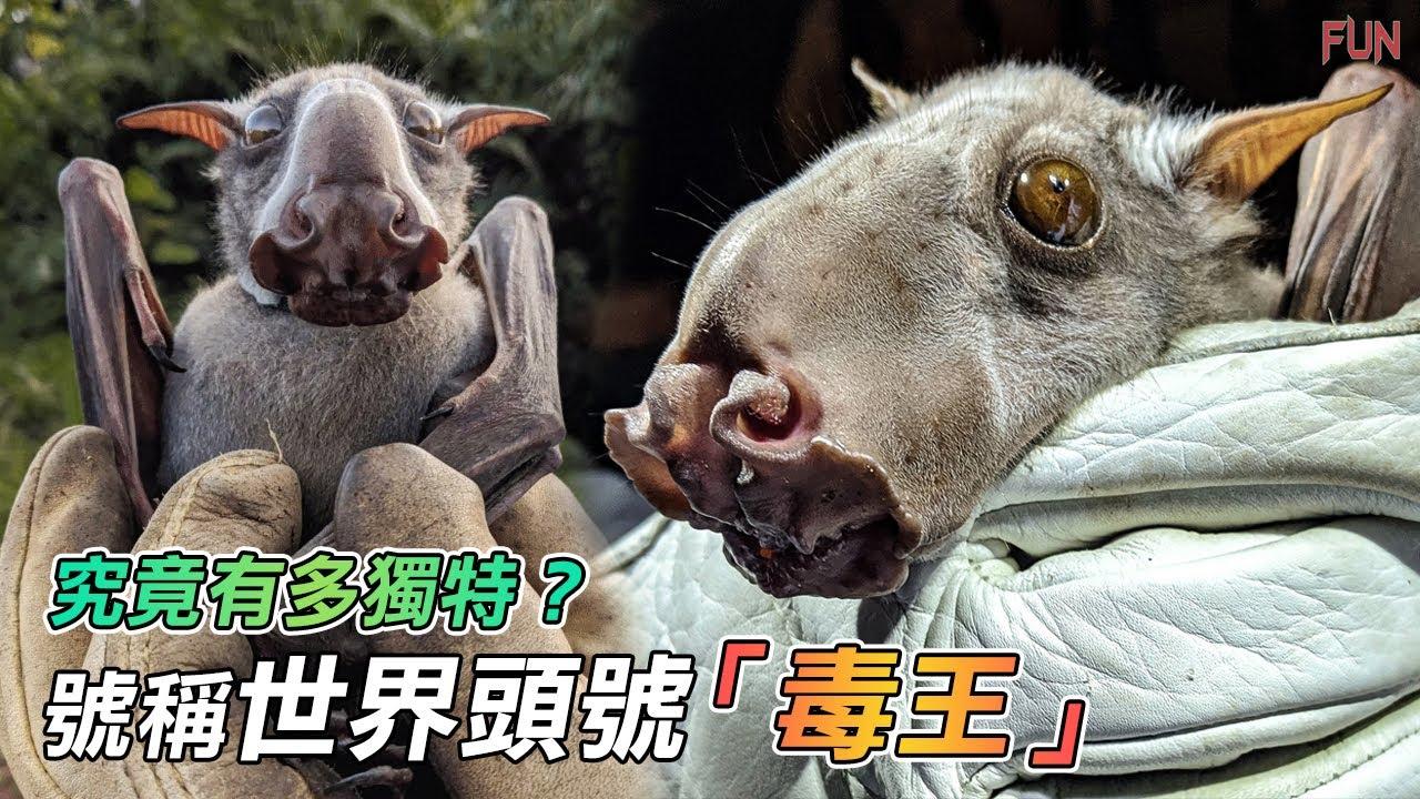 號稱世界頭號「毒王」的蝙蝠,竟然能那麼可愛!  吸血、抓魚、搭帳篷 都難不倒它們!