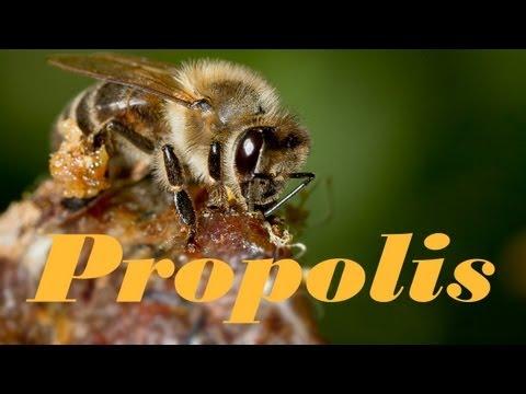 Вопрос: Какие растения необходимы пчелам для прополиса?
