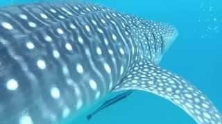 旅する鈴木470meet the whale shark mozambique
