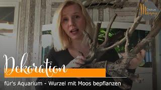 Dekoration für's Aquarium - Wurzel mit Moos bepflanzen