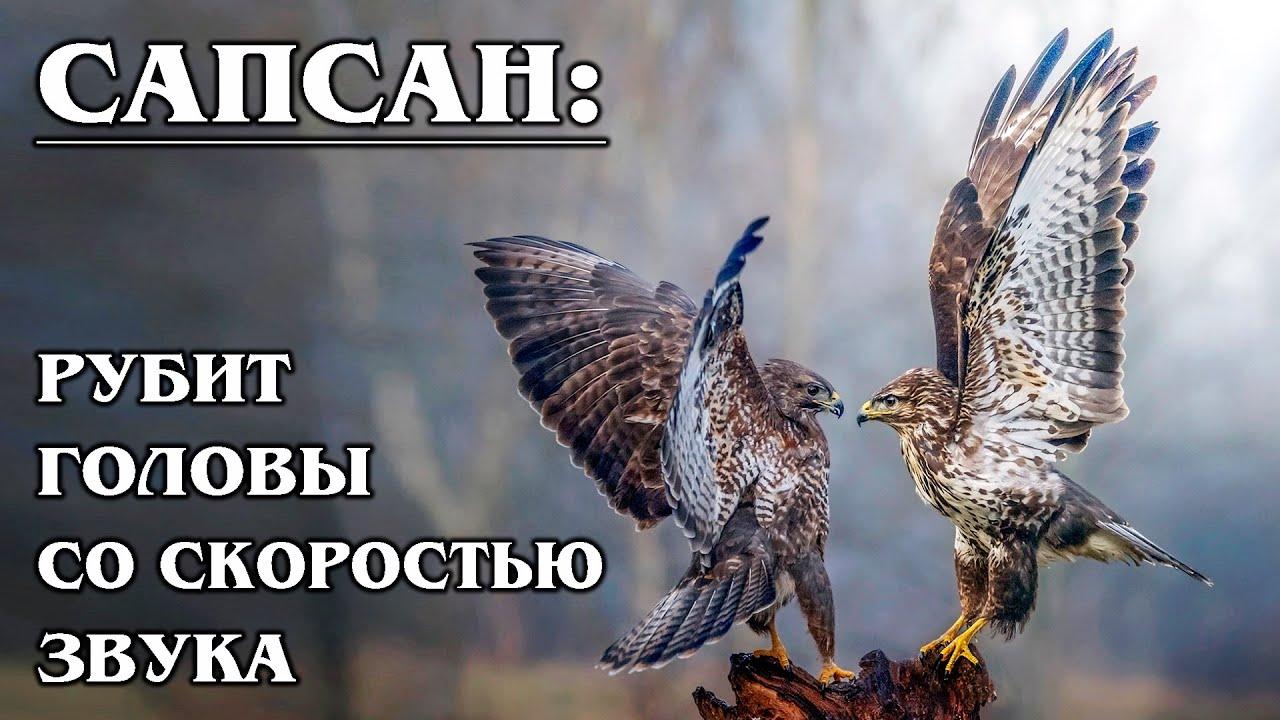 Download СОКОЛ САПСАН: Самый быстрый пернатый хищник в мире | Интересные факты про сокола сапсана и птиц