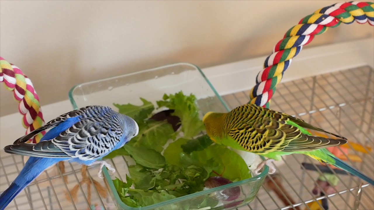 Kiwi And Pixel The Parakeets Take A Salad Bath But Mostly Just Eat The Salad