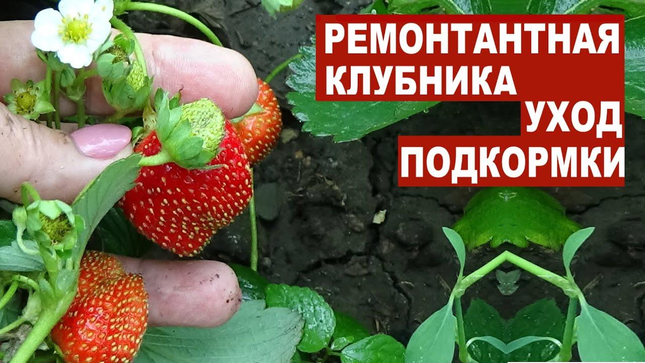 Ремонтантная клубника Что делать для хорошего плодоношения весь сезон