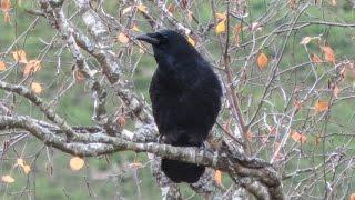 Krähe auf einem Baum - Ruf Stimme