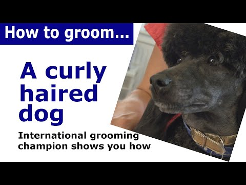 How to groom a dog with curly or wavy hair - grooming demonstration