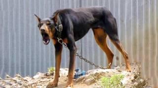 Doberman barks - DOG BARKING Sound Effect High Quality