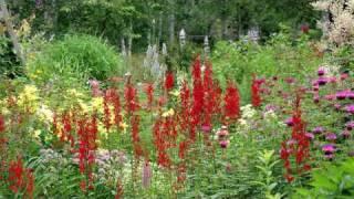 Gardening Tips & Flowers : How to Grow Cardinal Flower (Lobelia Cardinalis)