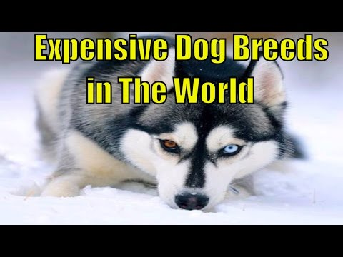 TOP 10 EXPENSIVE DOGS | Expensive Dogs To Buy