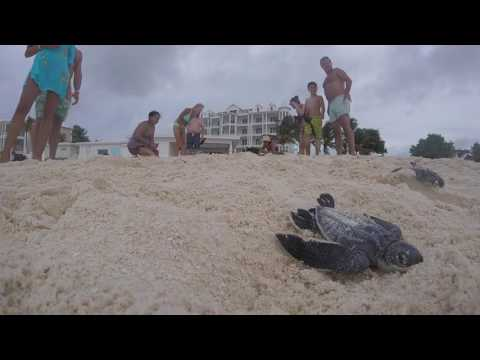 Leather Back Turtles Anguilla 2016