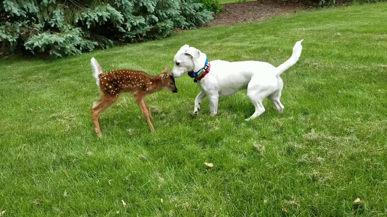 Dog And Fawn Best Friends