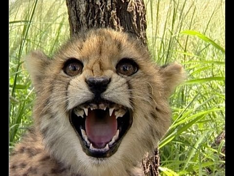 Cute Cheetah Cubs Hissing - YouTube