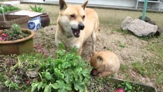山陰柴犬もみじとさくら親子が大根の葉っぱを美味しそうに食べます。 さ...