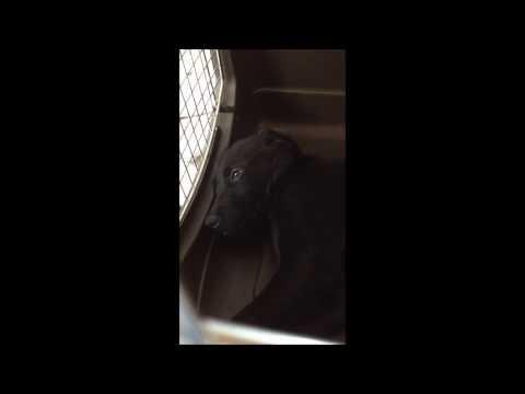眠そうな『ゴマ』。ゴールデンとラブラドールのハーフ犬です。