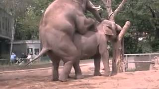 Elephants Mating In a Zoo