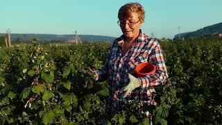 Презентационный ролик «Сделано в Севастополе». Возрождение производства ягод