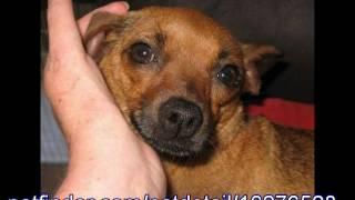 Susie, Dachshund Chihuahua Mix, For Adoption