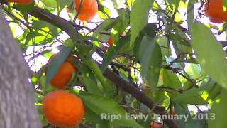 Tangerine Tree With Ripe Tangerines