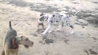 Great Dane Puppy &  Border Terrier Playing. Airedale Keeping Watch