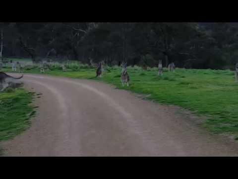 Kangaroo apocalypse