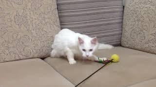 Кошка белая ростов
