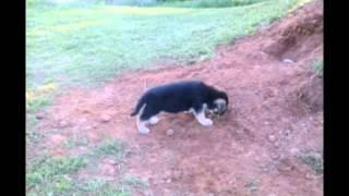 Akc German Shepherd Puppies For Sale May 2015