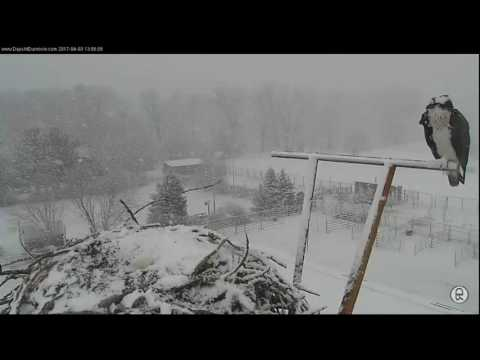 Dunrovin Osprey Cam - What a welcome home - 04-03-17