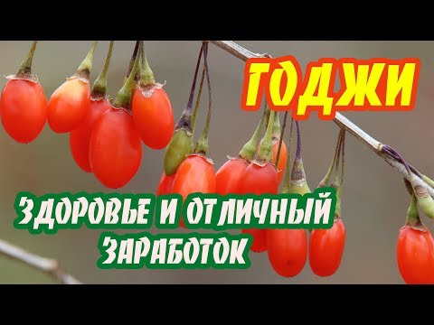 Ягоды годжи. Необходимость каждого садовода! Супер заработок и здоровье! (+субтитры)