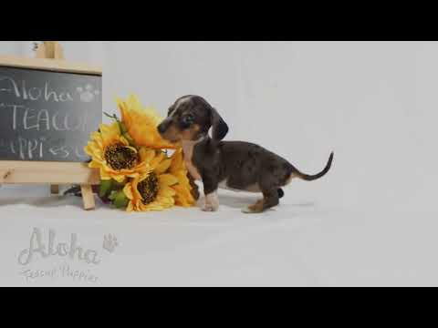 Lovely Teacup Dachshund Puppies For Sale - Bella