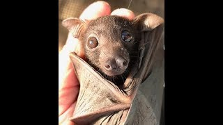 Cute Dallas Little Red Flying Fox Bat Look At This Face And Ears.