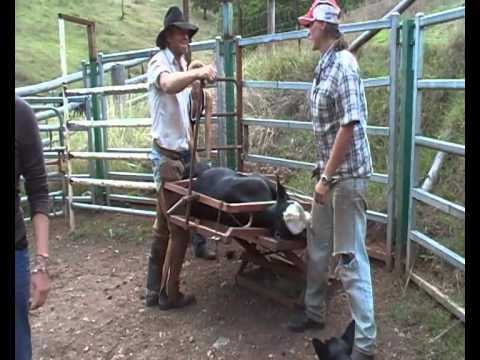 Calf branding and kastrating in Australia