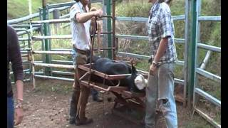 Calf branding and kastrating in Australia