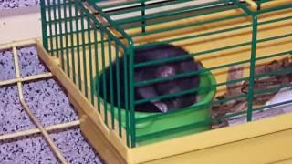 Как моются крыски, крысы ДАМБО.