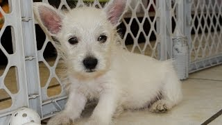 Westie, Puppies For Sale, In, San Antonio, Texas, Tx, Pasadena, Brownsville, Grand Prairie, Laredo