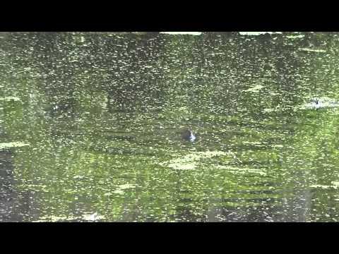 Carp Feeding At Newton Lake (TTYDSWYSAH) (Collingswood, NJ)