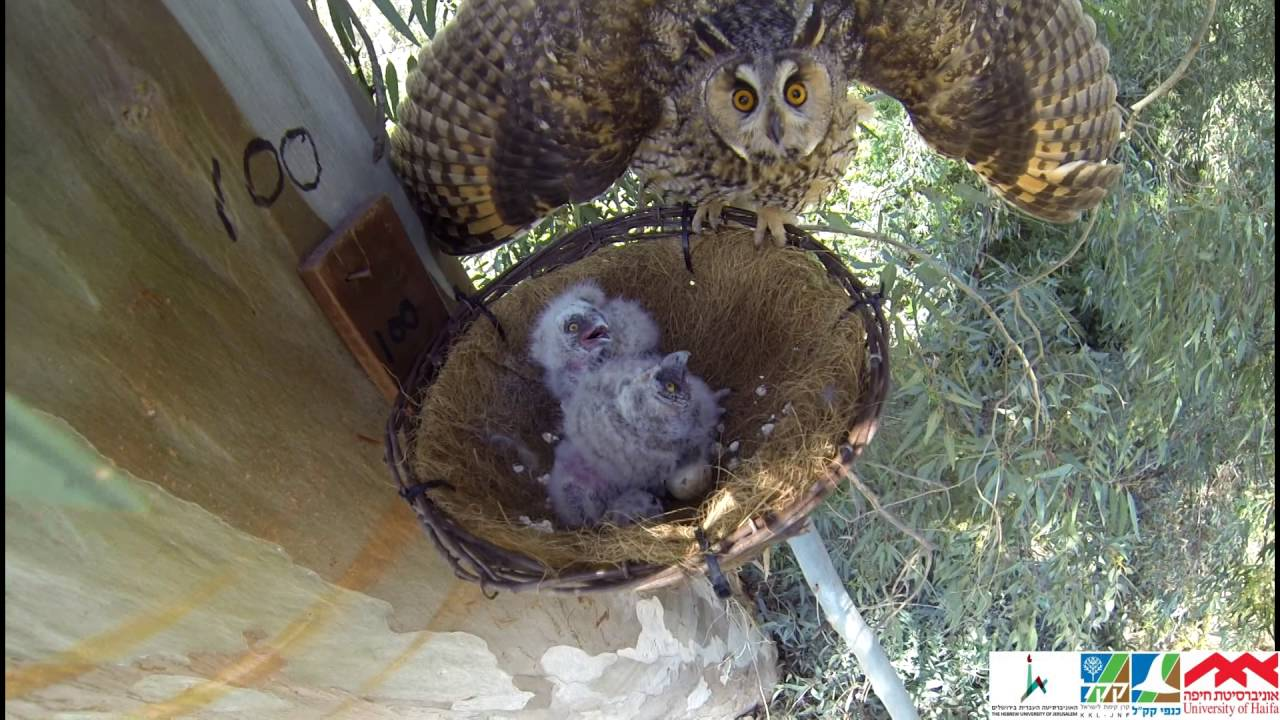 Nest Basket Use By Long Eared Owls And Kestrels In Israel By Dr Motti Charter Youtube