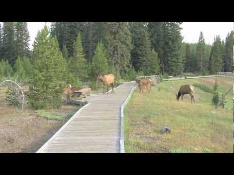 Yellowstone Elk Herd