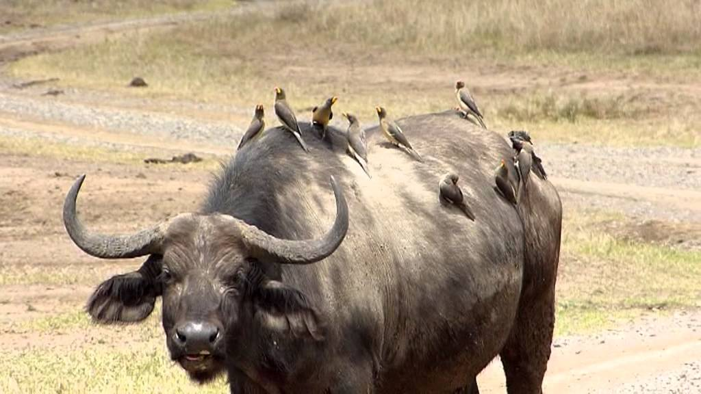 oxpeckers and rhinos relationship tips