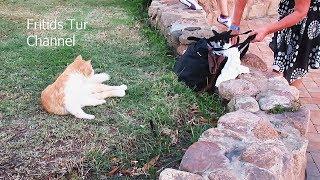Egyptian Cat attacks the bag - Funny cat видео