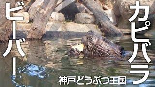 神戸市中央区『神戸どうぶつ王国』 赤ちゃんが生まれたばかりのビーバー...